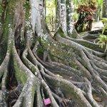 L'arbre étrangleur