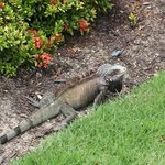 One of the iguanas on the property...