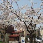上品な老木の桜