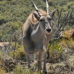 I'm the eland, who are you?