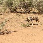 Van alle dieren is dit de beste jager. Helaas is de Afrikaanse Wilde Hond bijna uitgestorven.