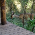 Impala strolling around
