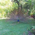 My Peacock friend