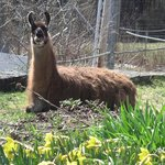 Russ llama resting in dafodil bed this April