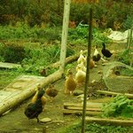 Duck Parade through vegetable garden