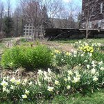 White and yellow dafodils in main flower bed background: the five story barn
