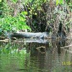 paddle tour - Alligator