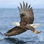 Eagle catching a Herring