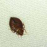 Bedbug found in room 713, HIE Richmond, Jan. 2013