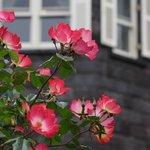 天然スレート葺きのレンガ造りがバラによく似合う