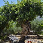 Elounda Heights rare 500 year old carob tree.
