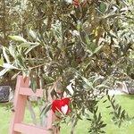 Pink ladder & Olive tree