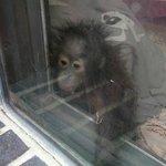 Baby Orang in the Nursery