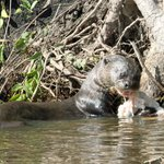 Great river otter