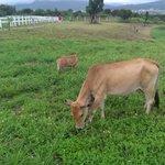 Cows in Ocean Paradise