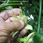 Fécondation d'une fleur de vanille - David Vanille et Épices en Guadeloupe.