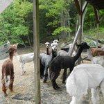 Male alpacas under the yoga loft