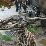Giraffe AND penguins!