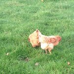 The hens which provide the eggs for breakfast