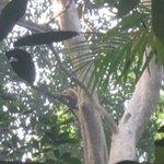 female golden cheeked gibbon