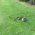 nuestra parcela ocupada por patos