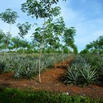 nearby pineapple plantation