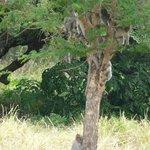 Un arbre à singes