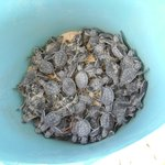 Turtles hatched and wating to be released at night