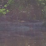 Crocodile on the Buttonwood Bank