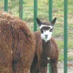 Alpacas recién nacidas