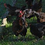gallinas en el huerto
