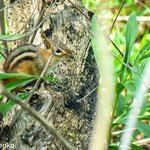 Chipmunk on the Marsh Trail