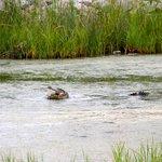 Alligator eating a turtle