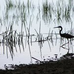 Bird in the marsh