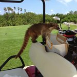 A hungry, but friendly Coatis on our cart!