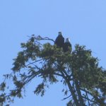 Savary eagles