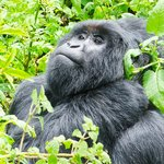 Silver Back of Nyakagezi Gorilla Group