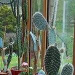 Some of the many cacti in the dining area