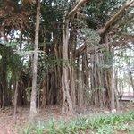 Banyan Tres
