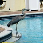 Great Blue Heron at the pool