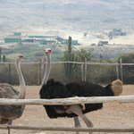 Ostriches we fed