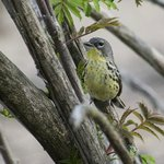 female Kirtland's Warbler - very rare