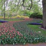 una serpentina di tulipani