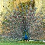 lots of peacocks