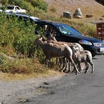 Bighorn sheep family in the parking lot