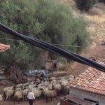 Schafherden versüssen den Morgen