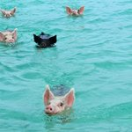 the swimming pigs :)