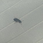 Close up of one of the bugs that came out of the sheets.