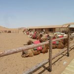 Camels, Shapotou, Zhongwei, Ningxia