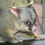"""Possum """"Arnott"""""""